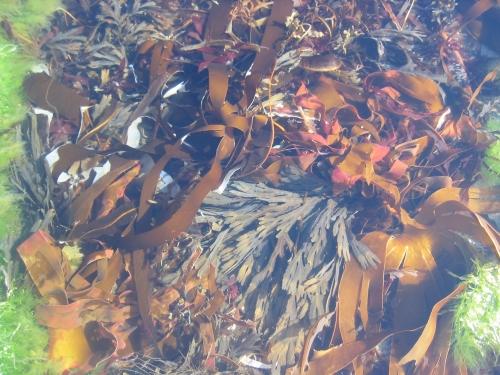 Seaweed in morning light at Birsay