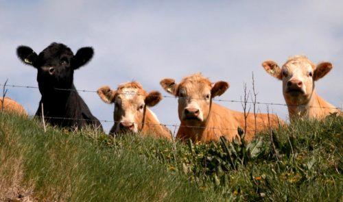 Cattle watching in Orkney fields