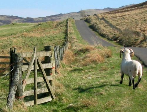 Beware Sheep in the Road!