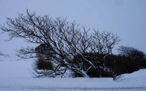 Windswept sycamore near Maeshowe, Orkney